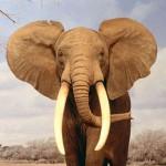 elefante_curiosoanimal.blogspot.com (9)