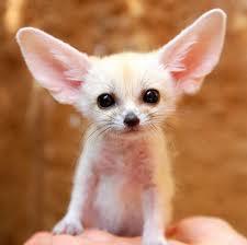 Это очаровательное животное называется фенек!