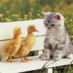 gatito y patitos