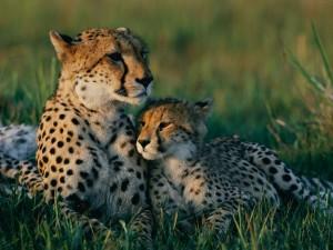 cheetah-mother-cub_13420_990x742