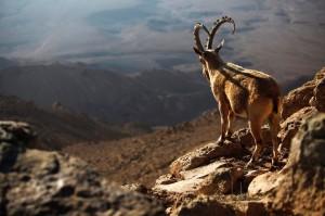В испанской версии La cabra siempre tira al monte