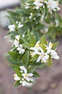 Асаар - цветок апельсинового дерева
